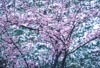 Spring Snow and Cherry Blossoms by Bruce Haanstra
